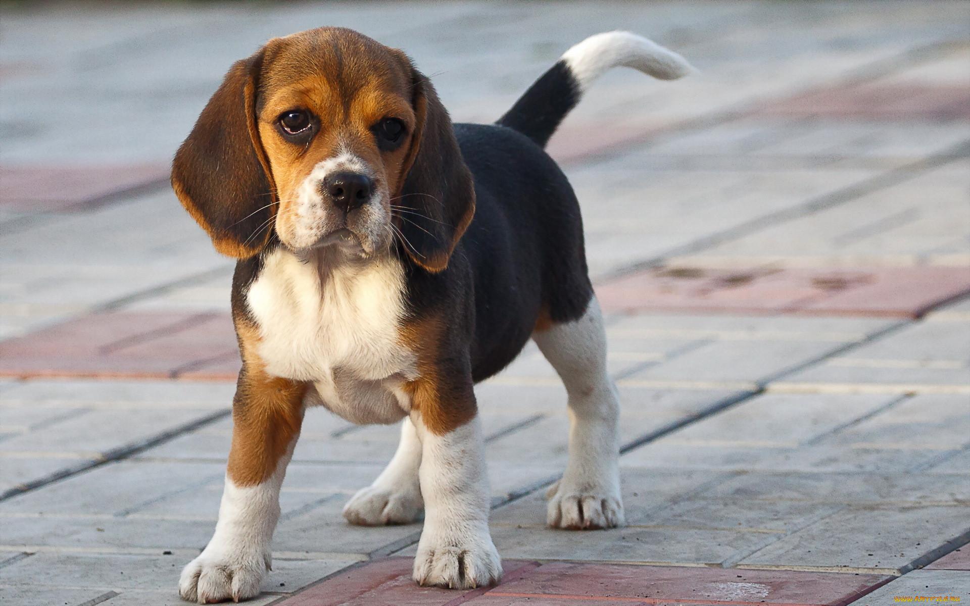 Бигль собака картинка